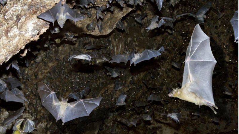 為何武漢肺炎、非洲伊波拉病毒,都來自蝙蝠?