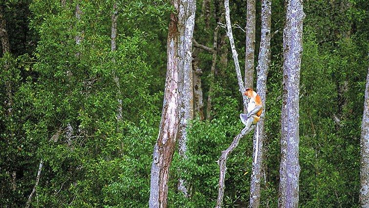 馬來西亞.沙巴 紅樹林拜訪長鼻猿