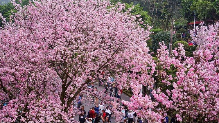 周末親子活動 2017年3月賞櫻景點推薦