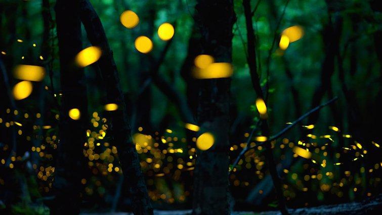 螢火蟲怕光、愛乾淨 戶外賞螢「3要4不」提醒