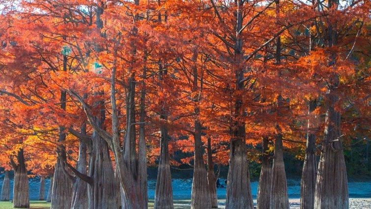 全台5處非去不可的「落羽松」森林