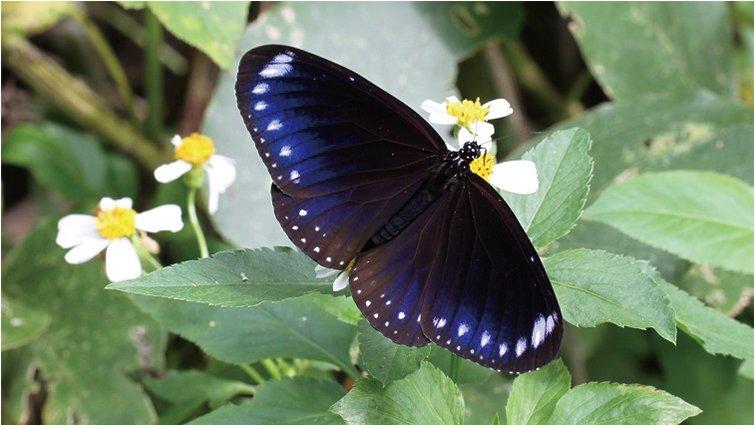 【春夏賞蝶】一年一度紫斑蝶北遷季,親子賞蝶行前準備