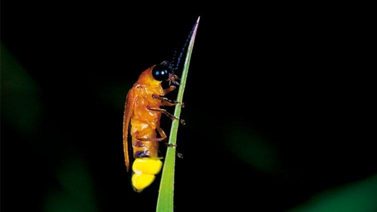 認識螢火蟲│《尋找螢火蟲》