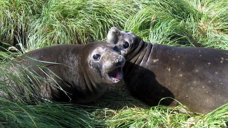 南極探險──海象媽媽的育兒奇觀