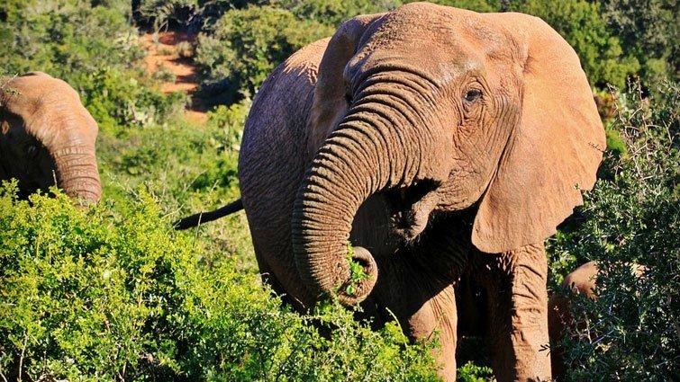 【圖解科學大驚奇】為什麼大象的鼻子那麼長呢?
