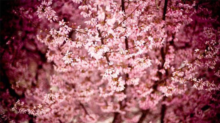 王文華:向下開的櫻花