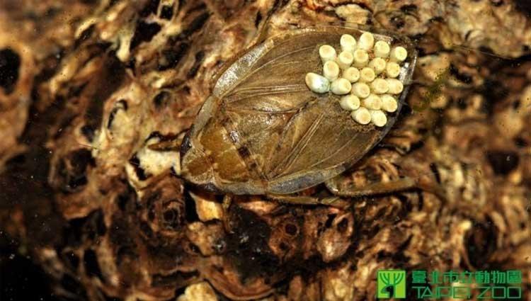 防堵登革熱 動物園祭新法寶「負子蟲」滅蚊